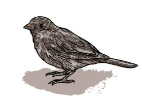 sparrow illustration 2